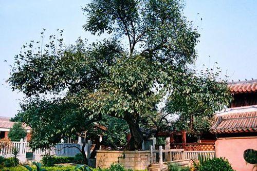 我国现存最古老的桑树-合肥泉州商会